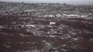 White Wolf on Sub-Arctic Tundra