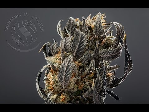 Cannabis in Canada LIVE - Jan 21 2016