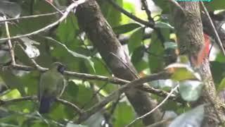 Gambar cover Burung cucak ijo cunko gacor di alam liar