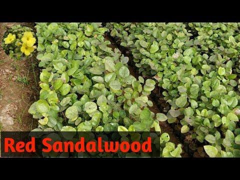how to grow sandalwood plant