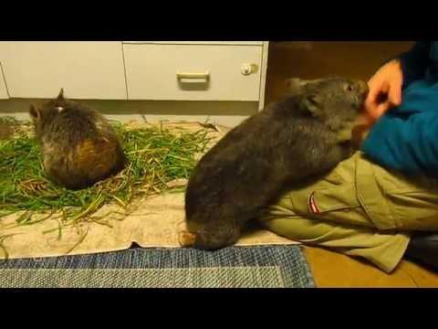 Wombat joey Warra