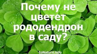 Почему не цветет рододендрон в саду?