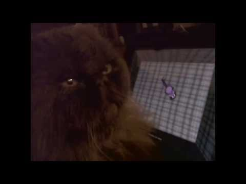 OLD CAT Gizmo Chases Digital Mouse On Ipad Your Cat Will Love This