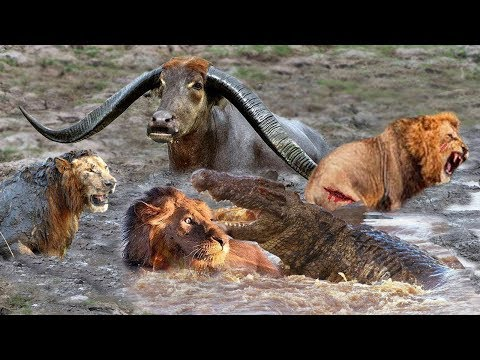Powerful Wild Animals Fight Buffalo vs Lion, Crocodile vs Leopard - Hyena, Tiger, Wild Dog