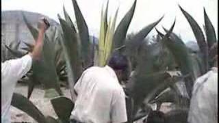 The Agave Harvest