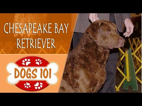 Dogs 101 - CHESAPEAKE BAY RETRIEVER - Top Dog Facts About the CHESAPEAKE BAY RETRIEVER