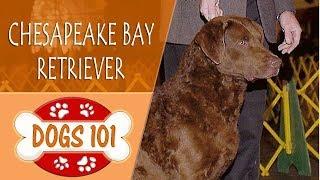 Dogs 101  CHESAPEAKE BAY RETRIEVER  Top Dog Facts About the CHESAPEAKE BAY RETRIEVER