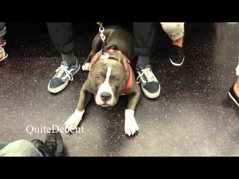 Pitbull in the Subway