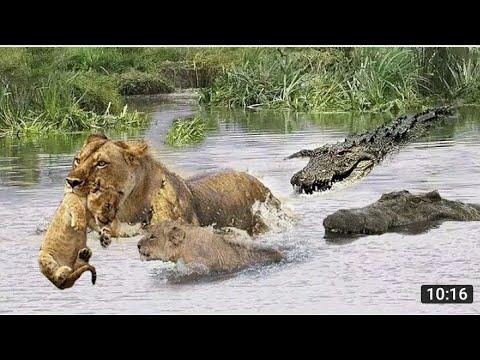 The Lion Kingdom Documentary In Hindi ||Documentary Hindi ||