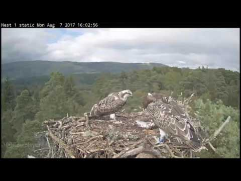 Forestry Commission Aberfoyle Ospreys ~ Clarach Delivers To Her Young, Aug 7, 2017