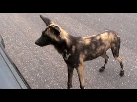Wild Dog Gets Confused With His Reflection In The Car - Latest Wildlife Sightings