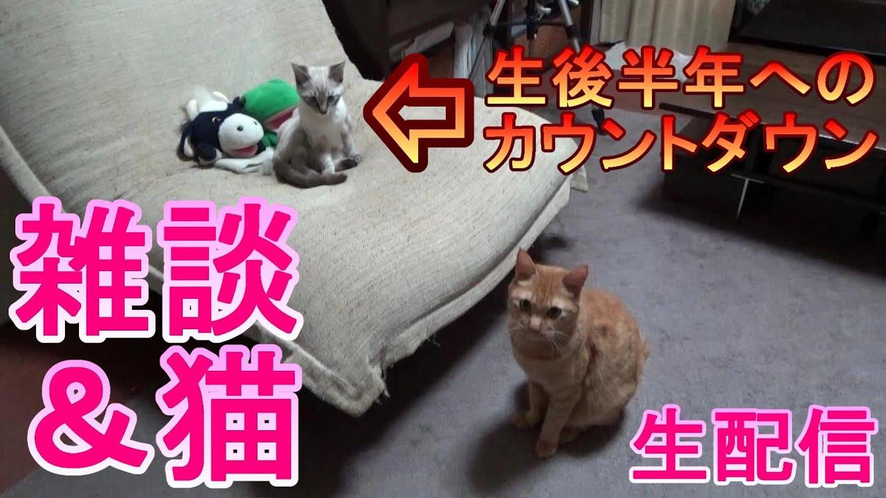 【雑談&猫】パペットマペット家の子猫、生後半年へのカウントダウン!大きくなった姿をウェブカメラで見たりしながらのんびり雑談生配信【LIVE】
