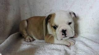 ブルドッグの子犬オス2頭の動画です。 http://wanboh.net/item/bulldog/...