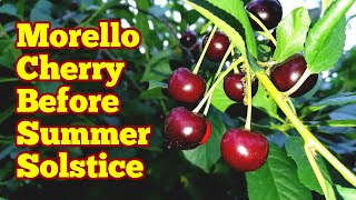 Amazing Morello Cherry Just Before Summer Solstice