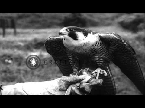 Falcons, hawks and sea eagles are trained in the Black Forest, Austria. HD Stock Footage