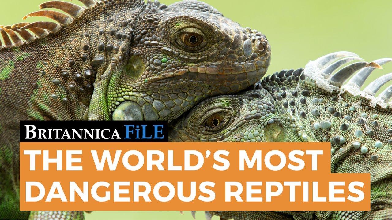 BRITANNICA FILE: The world's most dangerous reptiles   Encyclopaedia  Britannica