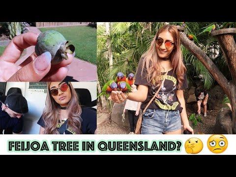 FEIJOA TREE IN QLD AUSTRALIA?
