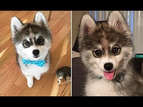 Meet the adorable Pomeranian/Husky 'Pomsky' puppy Norman