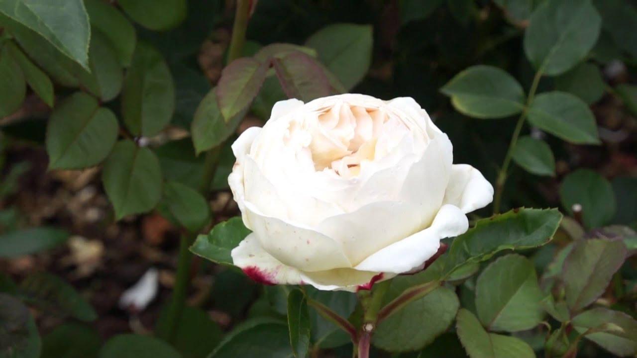 david austin roses 2011 die englische rose jude the. Black Bedroom Furniture Sets. Home Design Ideas