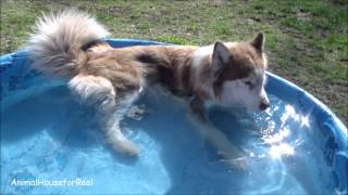 Siberian Husky Pool Party