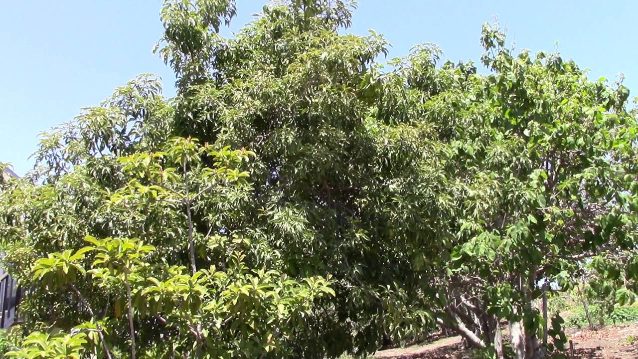 chico sapote tree