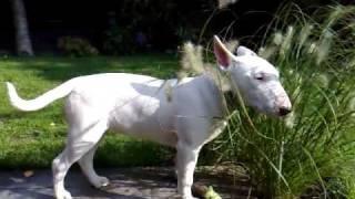 Trancing Bull Terrier thumbnail