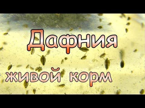 Дафния (Daphnia) живой корм