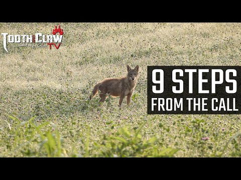 9 Steps From The Call – Coyote Hunting