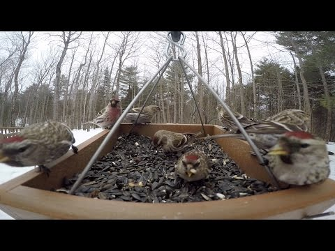 Bird Feeder GoPro: Winter Birds
