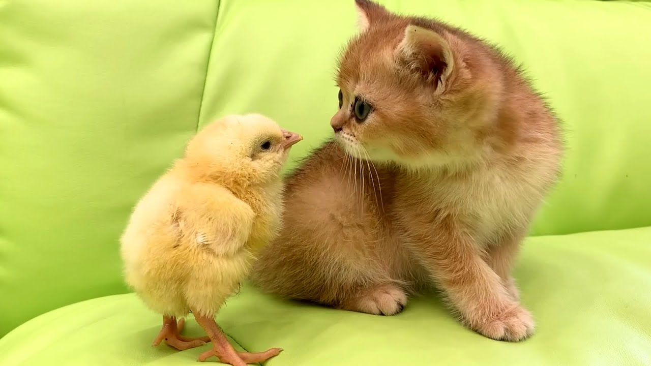 """""""And who's so sweet here?"""" - reaction of the adopted kitten to the chicken"""