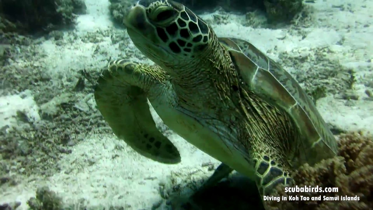 Diving in Koh Tao with turtle and cuttlefish