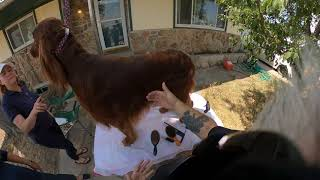 Show Grooming Irish Setters with Eric Salas