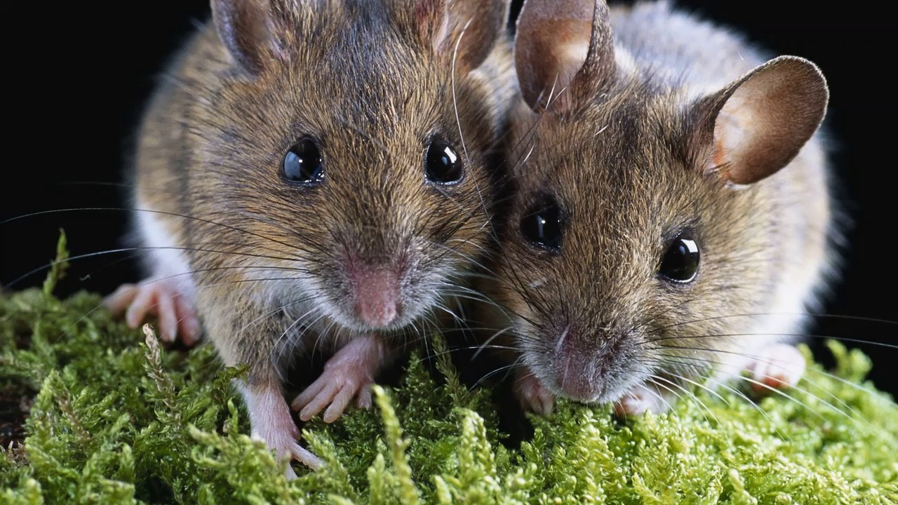 Картинки мыши на рабочий стол