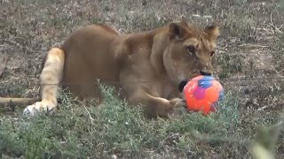 Good Kick, Kitty! Lions Have World Cup Fever at Israeli Zoo