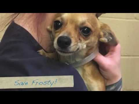 Please Save Frosty! Young Little Dog at 1 yr. ASAP