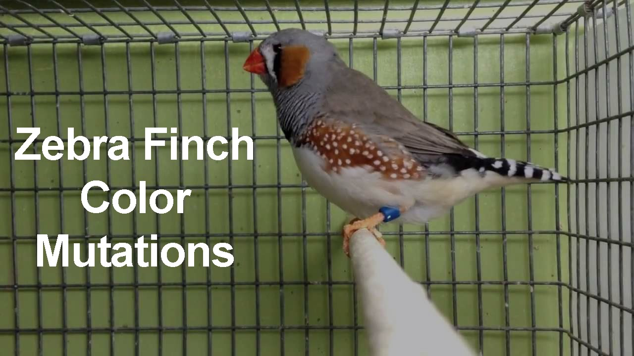 Zebra Finch Color Mutations Youtube