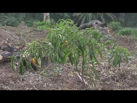 Gabon : industrialiser l'Iboga