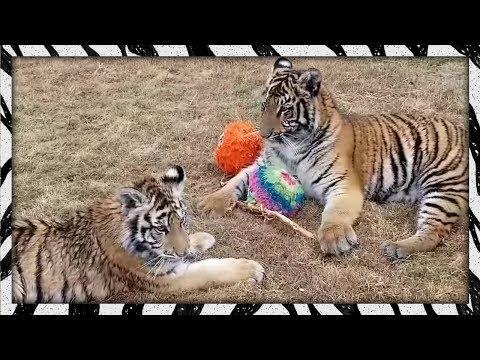 Introducing two tiger cubs! | Mika & Zara
