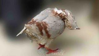Causes of sleep paralysis (Lakwa) in pigeons problems (Desi Ilaj) by Aman Prabhakar