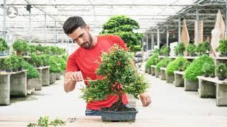Mistral Bonsai - Pinzado: dando forma a nuestro bonsái