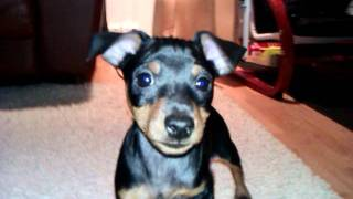 My 2 Month Old Min Pin :d