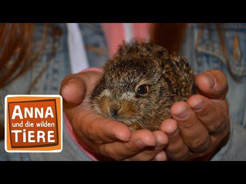 Feldhase und Wildkaninchen (Doku)   Reportage für Kinder   Anna und die wilden Tiere