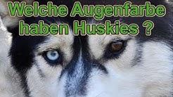 """Warum haben Huskies zwei verschiedene Augenfarben? Hat ein """"richtiger"""" Husky immer zwei blaue Augen?"""