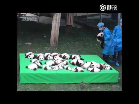 Panda cub caught on cam  falls from stage as 23 baby bears make their debut in China