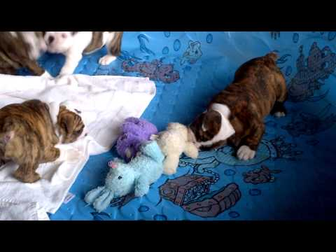 6 Week Old English Bulldog Puppies Going Crazy In Pool!