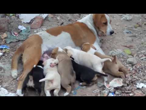 Dog feeding scene ( ১টি কুকুর কিভাবে ৬টি বাচ্চাকে দুধ খাওয়ায় দেখুন )