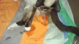 A gata tendo filhote