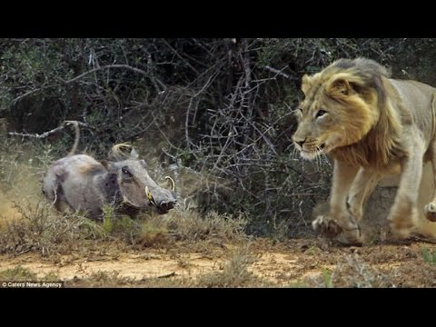 lion vs Warthog real fight