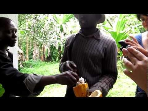 Le cacao (Togo 2012)