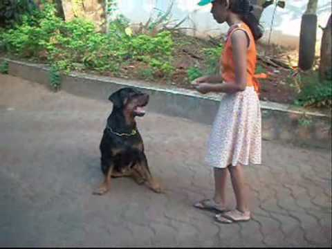Dog Training and Tricks with a Rottweiler